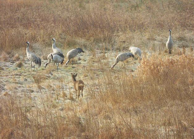 Overwinterende Kraanvogels in Fochteloërveen